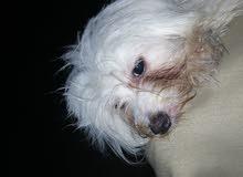 كلبه جريفون الماني عندها 9شهور متعوده على اكل البيت التواليت في الاحمام