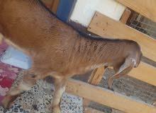 Pakistani Male Goat