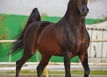 حصان للبيع أو الشراء