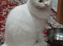 2 adult persian cats 3 persian kittens