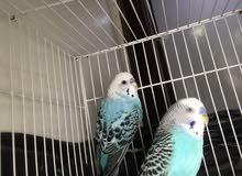 طيور الحب budgie Male