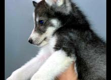 كلب بيور عمره 3 شهور