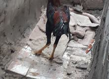 مطلوب دجاج عرب