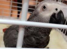 African Grey Parrot - ببغاء رمادي افريقي متكلم و لعوب