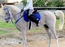 حصان مخصي للبيع