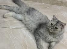 قطة شيرازية جاهزة للانتاج ولديها اربع ابناء اعمارهم 5 شهور
