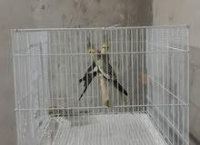 للبيع طيور كوكاتيل