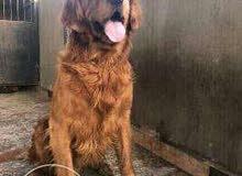 للبيع كلب جولدن بيور ذكر تشوكلت جمجمه كبيره صحه جيده وحجم ضخم