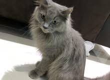 قطه النوع شيرازي