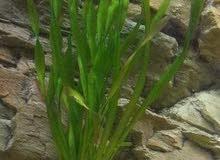 مطلوب نباتات مائية