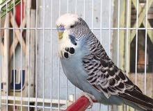 طيور حب بادجي اوربيات او