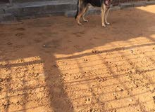 German Shepard  Puppies and Big for Sale
