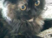 قطة شانشيلا مكس انجورا للبيع