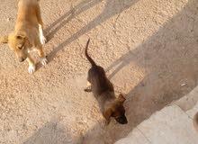 كلاب مشكله أجنبي وبلديات مدربه للحراسه