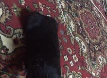 كلبه جيرمن شيبرد لونك هير سلوب عمرها 30 يوم تاكل وحدها اصليه ملقحه وكامله البصره الاصمعي
