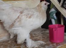 دجاج كوجن