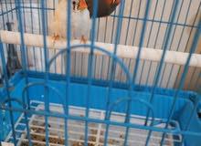عصافير زيبرا حالتهم الصحيه ممتازه