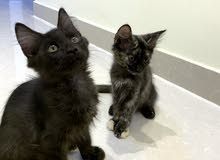 قطتين ذكر وانثى شيرازي