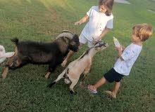 الماعز القزم الأمريكي