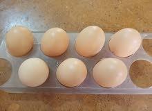 بيض دجاج براهما دكتوره خط أول