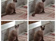 قطة إيليزا