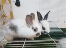 ارنب زينة