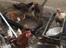 دجاجات عرب بياضات