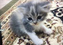للبيع قطه أليفه جدا جدا كيوت