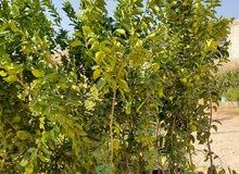 شجر ليمون وعدة اشجار با اسعار مناسبه