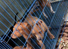 كلاب بتبول للبيع