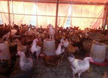 دجاج بياض عماني فرنسي هجين