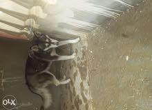 كلبة هاسكي عمرها 4شهور للبيع