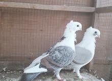 زوج طيور زينه (حب الرمان) كلش حلوات ورده وكعكوله ونظيفات جدا رايدهن ب35
