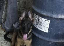 جراء جيرمن شيبرد للبيع puppies German shepherd for sale