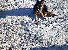 كلب نبي شن نوعة