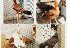 دجاج باكستاني منتجات