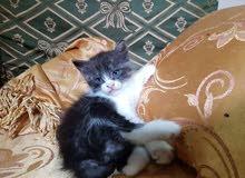 قطة شيرازاى