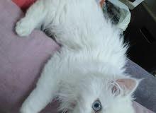 قطه شيرازي مكس هملايا انثى عمر 4شهور