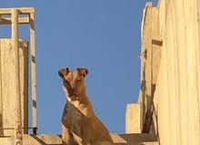 كلب بيتبول أمريكي