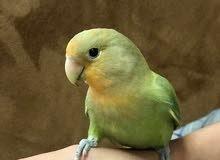 طير الحب اليف جدا