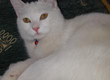قطه انجورا  انثى 6 شهور