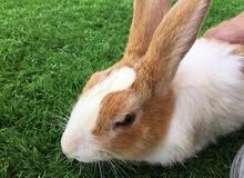 أرانب بلدي للبيع ألوان وأشكال