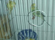 طيور الحب  عدد ثلاث مع قفصين   منطقت اسلط