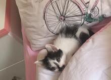 للبيع قطه شيرازي العمر شهرين