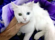 قطه شيرازي عيون كل وحده لون للبيع