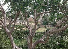 تقليم الاشجار المثمرة