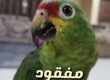 طير امازوني رد لورد مفقود في الفجيرة منطقة القريه