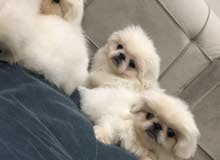 كلاب بكنيز