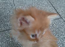 قطط فارسي