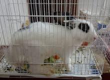 أرنب أبيض للبيع لعدم التفرغ